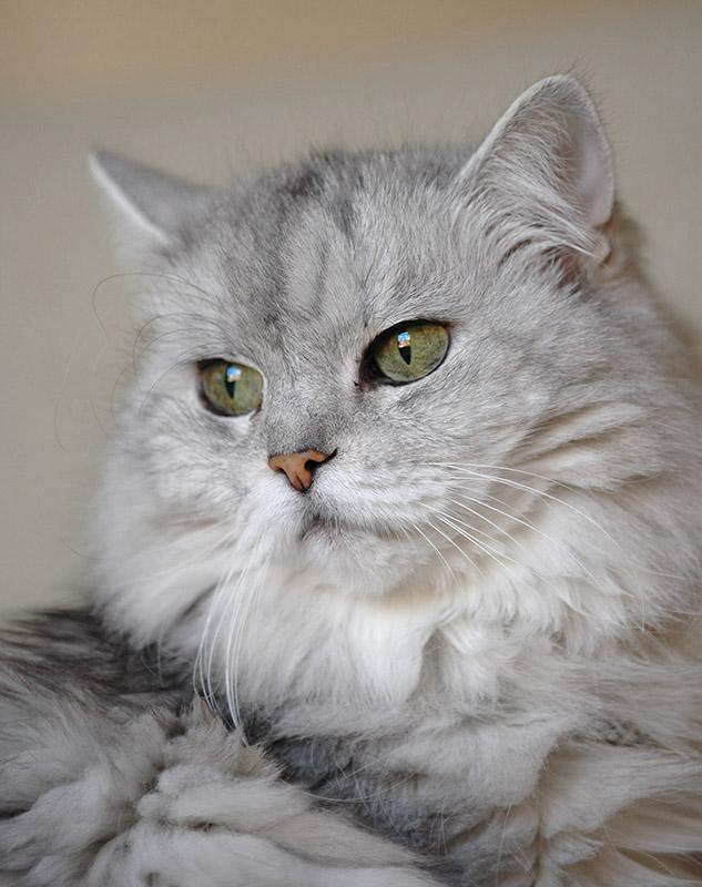 persian cats 3